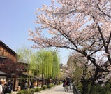 幻想的に照らされた夜桜をながめる、京都おさんぽ旅行