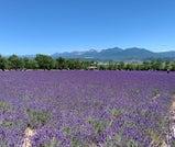 紫のラベンダーが丘を染めつくす夏の富良野で、絶景とグルメを楽しむ旅