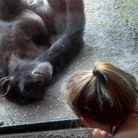 3/18/2013 tarihinde Amanda P.ziyaretçi tarafından Chimpanzee Exhibit'de çekilen fotoğraf