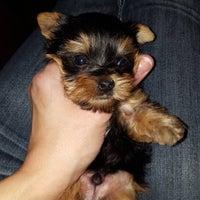 Priceless Yorkie Puppy - Jackson, MI