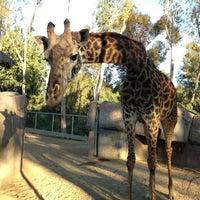 3/31/2013 tarihinde Alla V.ziyaretçi tarafından San Diego Hayvanat Bahçesi'de çekilen fotoğraf