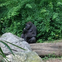 Congo Gorilla Forest Zoo In Bronx