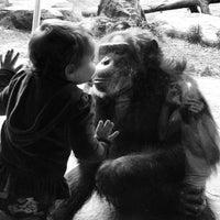 5/2/2013 tarihinde Tamer S.ziyaretçi tarafından Chimpanzee Exhibit'de çekilen fotoğraf