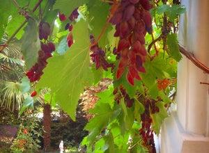 Под виноградной лозой