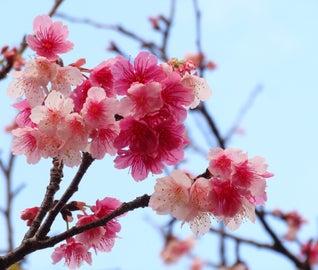 冬に咲く桜を見にいく。沖縄で日本一早い花見旅