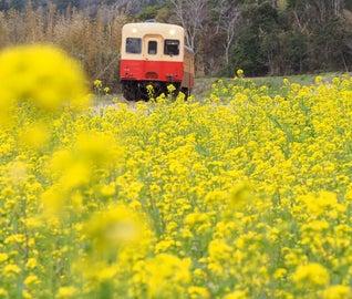 沿線に咲き誇る「菜の花」を満喫!南房総を走るローカル線の旅