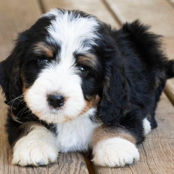 Kandi's Sweet Bernedoodle Puppies