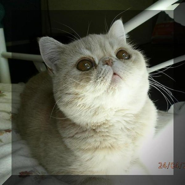 Exotic Dit-Dots,Exotic Shorthair Cats, Exotic Shorthair