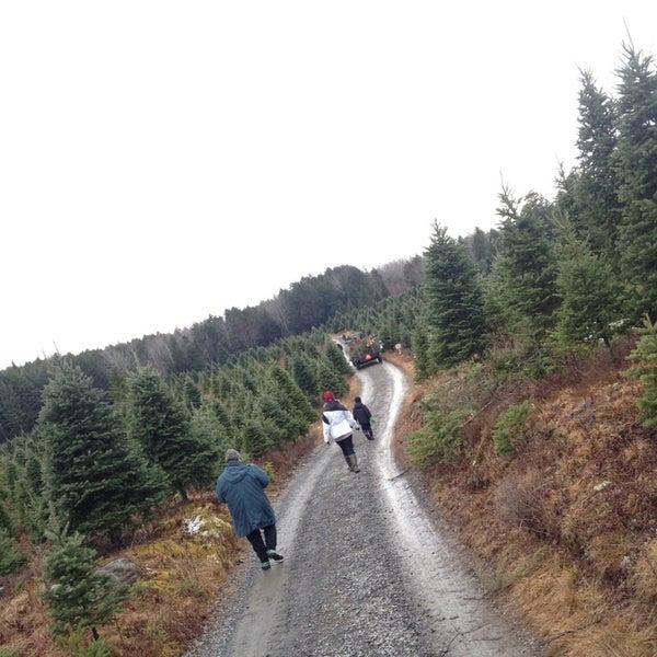 U Cut Christmas Trees.Photos At Kevin S U Cut Christmas Trees 1 Tip