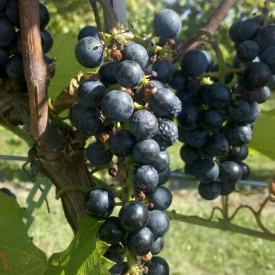 Whispering Oaks Winery >> Photos At Whispering Oaks Winery Black Oak Vineyard