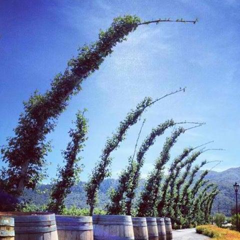Foto scattata a Peju Province Winery da Cindy L. il 9/8/2012