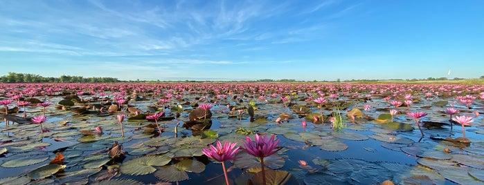 วังบัวแดงหนองคาย Wang Bua Daeng (Red Lotus Lake) is one of เลย, หนองบัวลำภู, อุดร, หนองคาย.