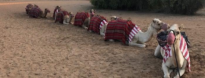 Al Maha's Camel Farm is one of The UAE & Dubai.