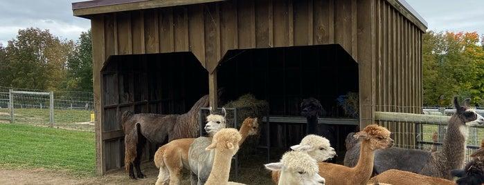 Buck Brook Alpacas is one of Oct 2020 🍎 🎃🍂🤰🏼🥳🚘.