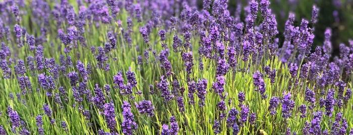 Cotswolds Lavender is one of Orte, die Alexander gefallen.