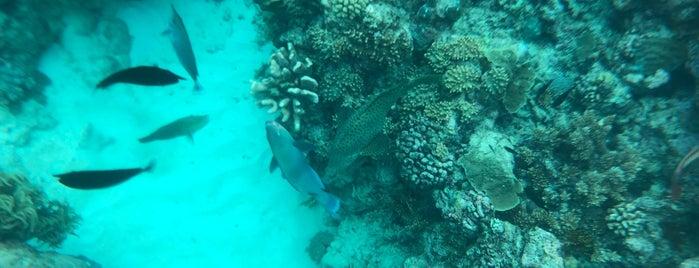 Saxon Reef is one of Ozzie Kiwi.
