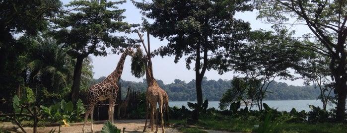 Singapore Zoo is one of Tempat yang Disukai Alex.