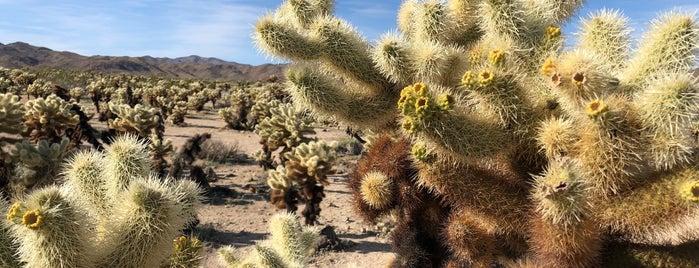 Cholla Cactus Garden is one of Joshua Tree.