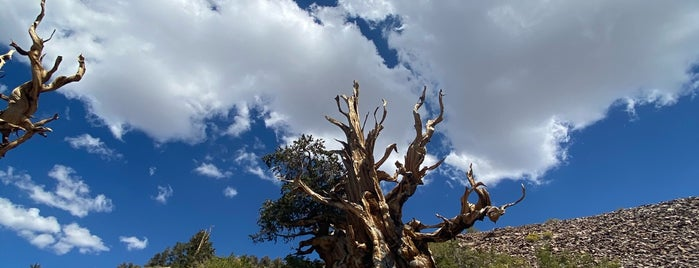 Ancient Bristlecone Forest is one of People, Places, and Things.