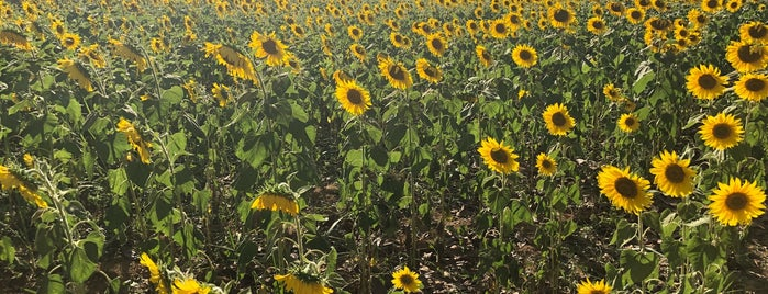 Sunflower is one of Khao Yai.