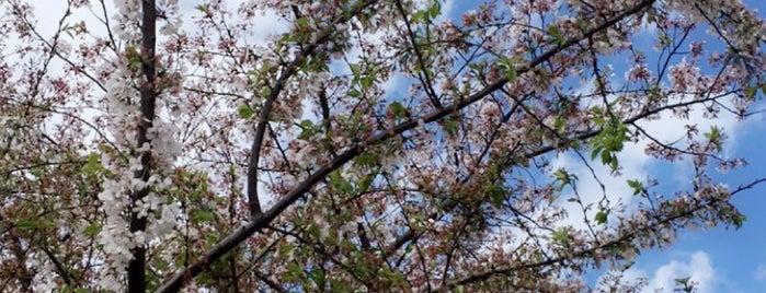 Cherry Blossoms is one of Lugares favoritos de Zeba.