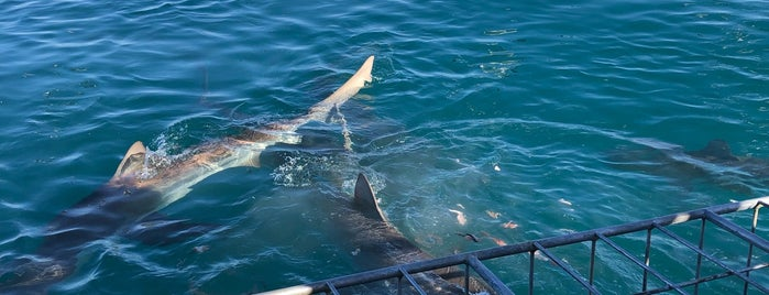 White Shark Diving Company is one of Honeymoon in Cape Town.