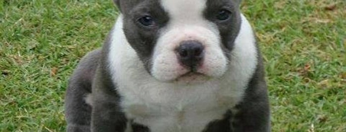 Xtreme Bully Pitbulls of Coles County is one of Gespeicherte Orte von Actifirm.