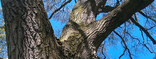 Danebury Avenue is one of The Great Trees of London.