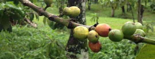 Kalibaru Coffee Plantation is one of Java / Indonesien.