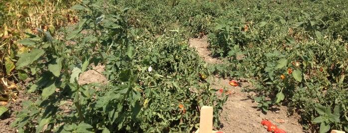 ÇatalcaYolu domates biber tarlaları is one of 👑 PeRvİnn👑 : понравившиеся места.
