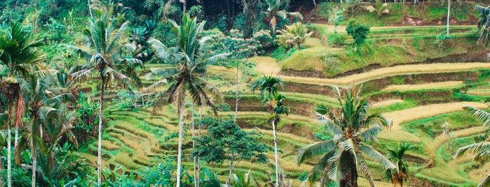 Rice Terraces Ubud Kaja is one of Indonesia 🇮🇩 Bali 🌸.