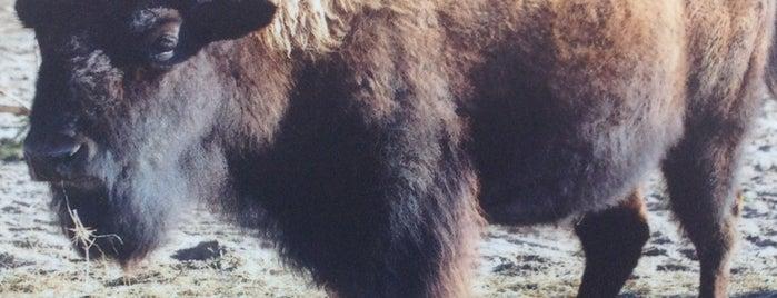 Bizons is one of Diergaarde Blijdorp 🇳🇬.