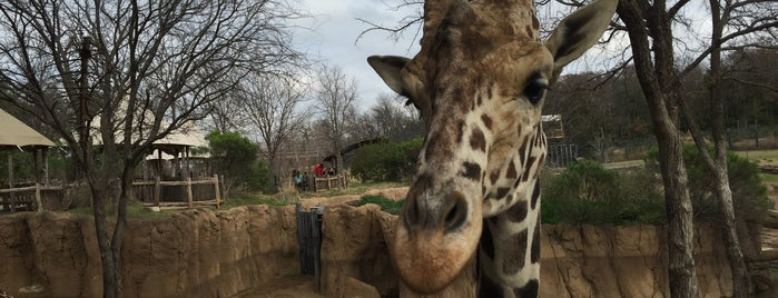 Dallas Zoo is one of Hang With Baby Giraffes and Giant Pandas.