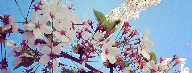 High Park Cherry Blossoms is one of Viagem Canadá 2018.
