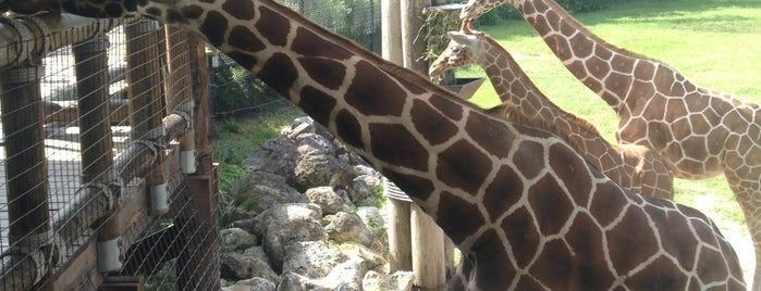 Jacksonville Zoo - Giraffes is one of Patrick 님이 좋아한 장소.