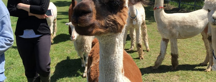 Seven Stars Alpaca Ranch is one of PNW Road Trip.