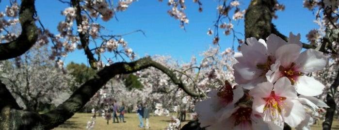 Parque Quinta de los Molinos is one of The Best Of Madrid.