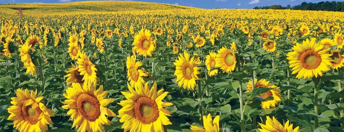 Frederick Farms, Sunflowers is one of Take zucchini.