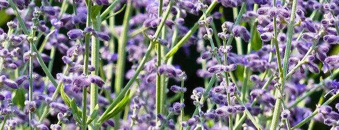 Pleasant Valley Lavender is one of 5 Ways to Escape NYC Besides the Beach This Summer.
