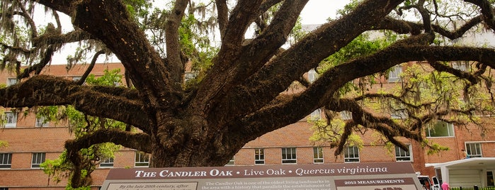 The Candler Oak is one of Bikabout Savannah.