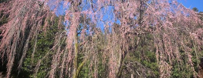 高麗家住宅のしだれ桜 is one of Locais salvos de Minami.