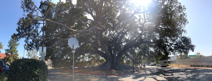 Moreton Bay Fig Tree is one of Pacific Highway.