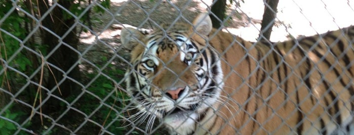 Carolina Tiger Rescue is one of Kelsey.