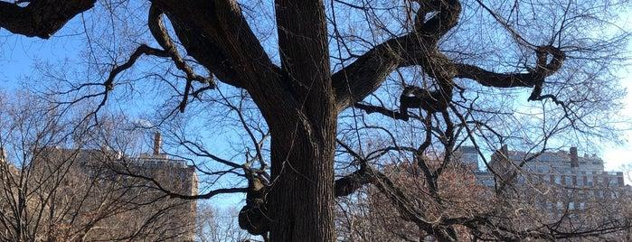 Oldest Tree in Central Park is one of Orte, die Aleksey gefallen.