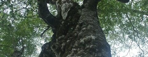マザーツリー is one of Aomori/青森.