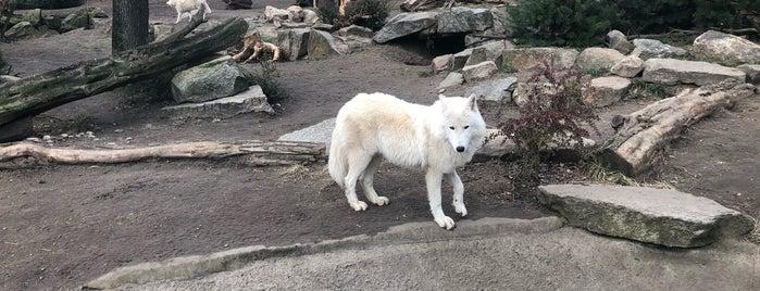 Kanadischer Wolf | Zoo Berlin is one of Lugares favoritos de Sevil.