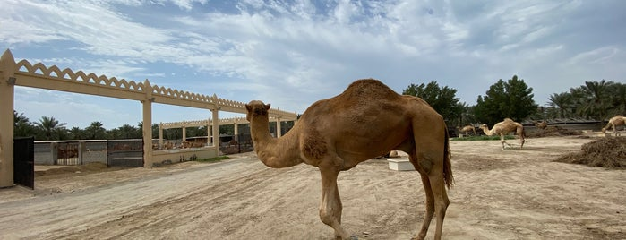 Camel Farm(Janabiya) is one of Bahrain.