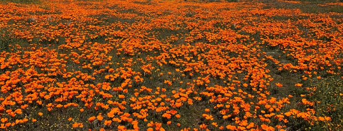 Antelope Valley Poppy Reserve is one of LA's Must-Visits.