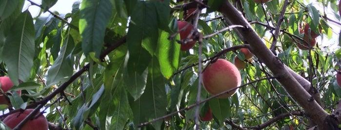 Davis Peach Farm is one of Cynthiaさんの保存済みスポット.