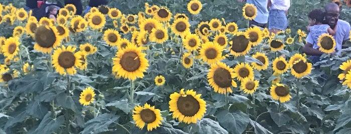 Sunflower Field is one of สถานที่ที่ Arthur ถูกใจ.